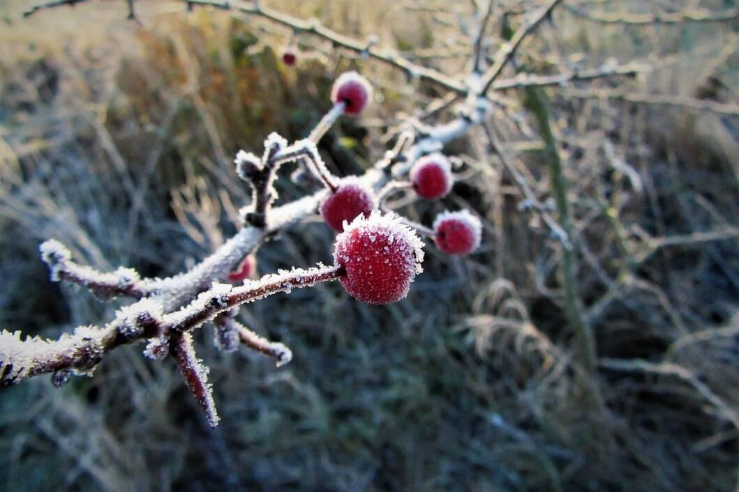 Bobičasto voće usred mraza