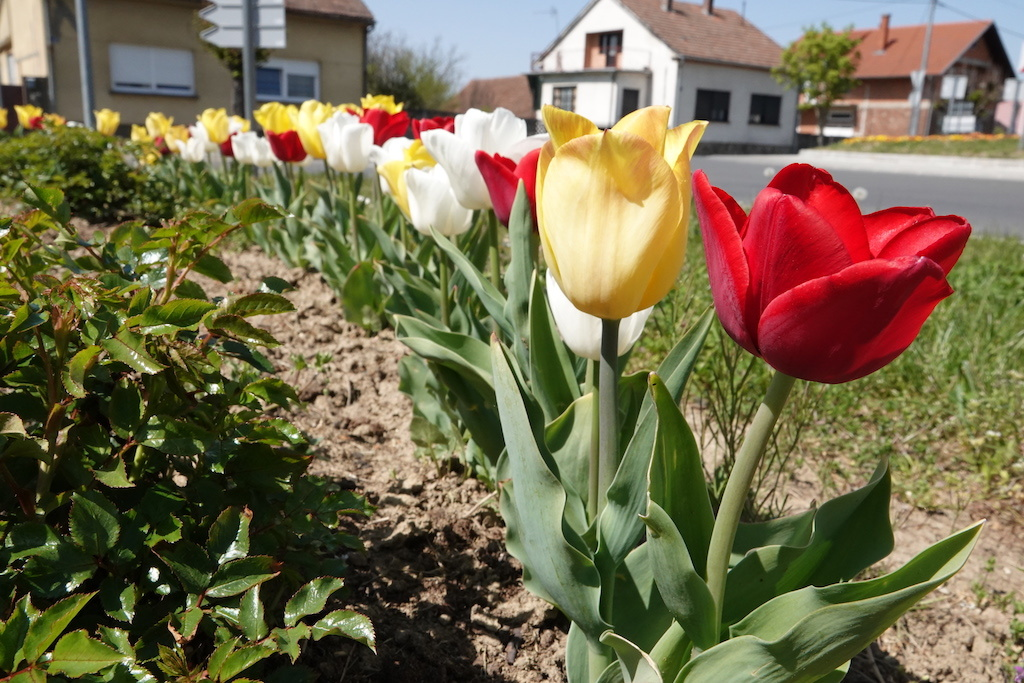 Šareni tulipani u Đurđevcu