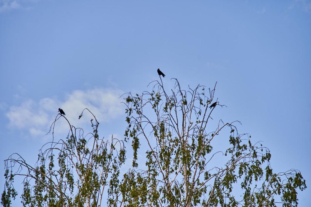 Vrane na granama // Foto: Luka Krušec / LuMedia