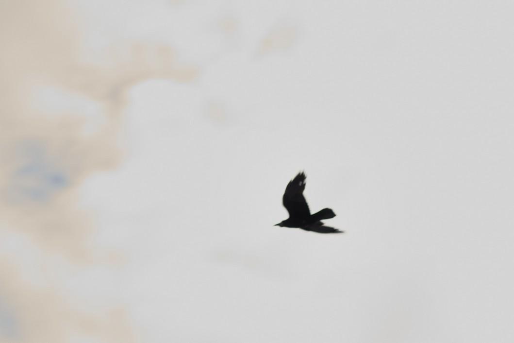 Vrana u letu