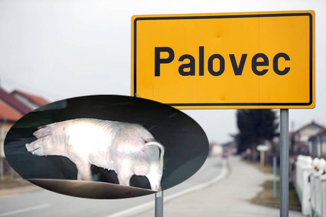Svinja u Palovcu