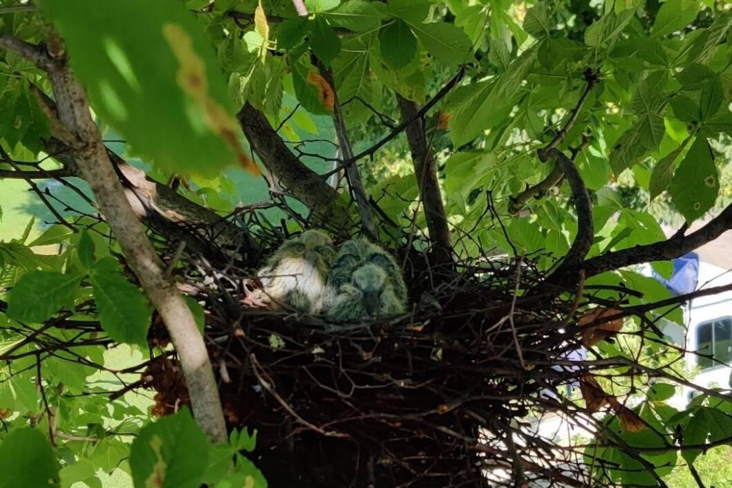 Gnijezdo s mladim ptićima divljeg goluba