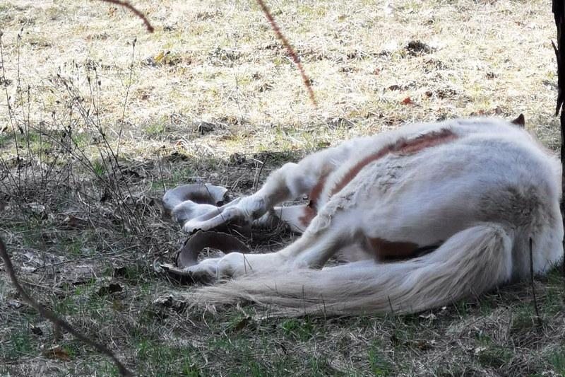 Konji neobrezanih kopita